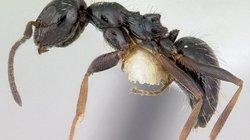 Siêu bầy đàn kiến làm tổ 38 km, có thể xâm chiếm thế giới