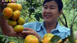 Về vùng thủ phủ trồng cam Văn Chấn, nơi có nhiều tỷ phú