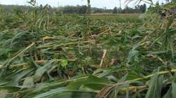 Quảng Ngãi: Xót xa cảnh hàng trăm ha rau màu bị lũ tàn phá
