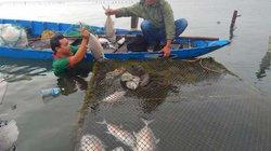Huế: Cá nuôi và cá tự nhiên gần cửa biển chết hàng loạt
