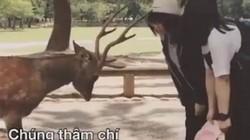 Clip: Những chú nai lễ phép cúi chào khi được tặng thức ăn