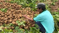 Quảng Ngãi: Lũ đi qua, người trồng sắn mất tiền tỷ