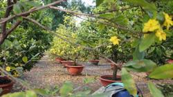 """Thời tiết """"đỏng đảnh"""", nhà vườn SG khóc ròng nhìn mai nở sớm"""