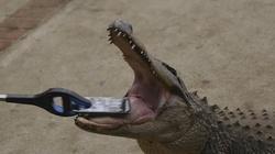 """""""Thót tim"""" khi cho cá sấu thử độ bền iPhone 7"""