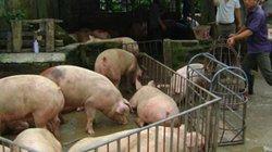 """Giá lợn hơi tụt giảm: """"Thủ phạm"""" là... thị trường Trung Quốc?"""
