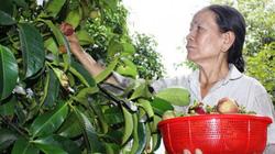 Tăng hỗ trợ nhà nông, quyết giữ vườn cây đặc sản