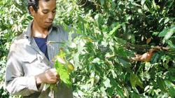 Rau nhíp - đặc sản núi rừng làm giàu cho người S'tiêng