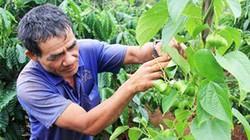 """Mạo hiểm phá cà phê vì cây """"tin đồn"""""""