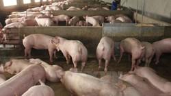 """Giá lợn hơi giảm mạnh, khó bán: Cần """"bàn tay"""" đàm phán của Chính phủ"""
