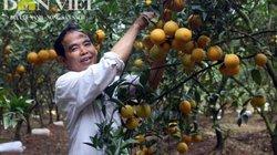 Vườn cam VietGAP tiền tỷ đẹp như tranh vẽ của thầy giáo Thủ đô