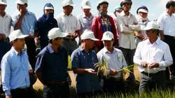 Nông dân Tây Nguyên phấn khởi vì lúa Đài thơm 8 được mùa