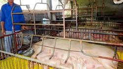 Trang trại nhàn tênh nhờ huấn luyện 250 con lợn đi vệ sinh đúng giờ