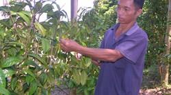 Làm giàu ở nông thôn: Người Sán Chỉ đầu tiên trồng trà hoa vàng