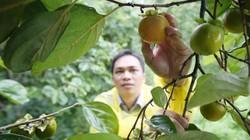 Hồng vành khuyên ngọt lịm 100 năm tuổi xứ Lạng vào mùa thu hoạch