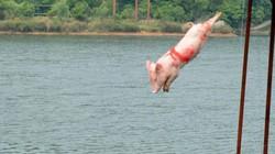 Du khách đổ xô xem trò giải trí lợn lặn, lợn nhảy cầu ở Trung Quốc
