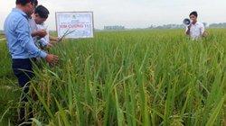 Giống lúa không có điểm trừ: Lựa chọn đáng tin cậy của nhà nông