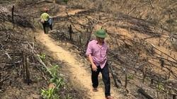 Phá tiếp 20ha rừng ở Bình Định: Phá vì nghĩ... không bị truy tố?