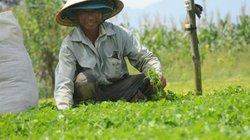Nhà nông làm giàu: Chỉ trồng 8 sào rau má, có thu nhập choáng váng 1 tỷ đồng/năm