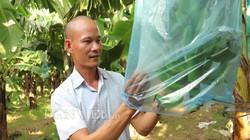 Làm giàu ở nông thôn: Trồng và bán cả ngàn tấn chuối cho Nhật, Hàn Quốc