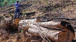 """Chủ tịch Bình Định: Phải tìm được """"kẻ chống lưng"""" 2 vụ phá rừng"""