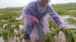 Clip: Nông dân Ninh Bình lội nước vớt từng bông lúa trong nước lũ
