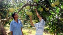 1 xã trồng 700ha bưởi đường, hơn 400 hộ có thu nhập nửa tỷ/năm