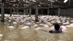 """Giá lợn (heo) hôm nay 13.10: Lũ lịch sử, lợn chết la liệt, lại phát hiện """"ổ"""" lợn bị bơm thuốc an thần, giá lợn có tăng?"""