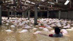 Vụ gần 6.000 con lợn chết đuối: Quyết tâm xử lý hết trong đêm nay