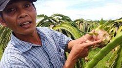 Hàng vạn con ốc sên tấn công ngấu nghiến vựa thanh long Bình Thuận