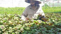 HTX mỗi hộ trồng một loại rau an toàn, hiệu quả cao, không có mà bán