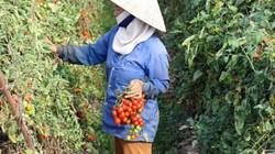 Được bón phân Lâm Thao, cà chua và bí xanh cho năng suất cao