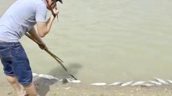 Quảng Ngãi: Cá chết hàng loạt không phải do chất thải trại nuôi heo?