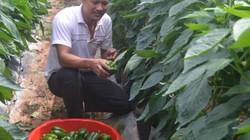 Làm giàu ở nông thôn: Phá cà phê, trồng ớt chuông, lại có tiền tỷ