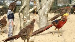 """LẠ MÀ HAY: Clip Ngắm trang trại chim, gà """"quý tộc"""" trị giá tiền tỷ"""