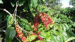 Giá nông sản hôm nay 27.10: Giá hạt điều tăng vọt trên 9.900 USD/tấn; xuất khẩu cà phê thu về 2,69 tỷ USD