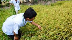 Nông dân miền Tây góp cả cánh đồng lớn trồng lúa sạch, lãi gấp đôi