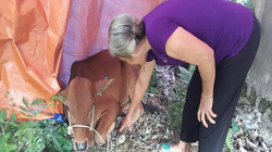 Hà Tĩnh: Dân nghèo được hỗ trợ bò bị dịch bệnh?
