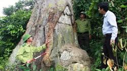 Chuyện cây lim xanh - báu vật nghìn năm tuổi giữa Vườn quốc gia