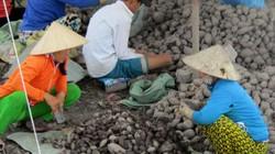 Làm giàu ở nông thôn: Chỉ trồng 60 công khoai mà lãi 1,2 tỷ đồng