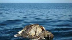 400 rùa biển chết nổi bí ẩn ngoài khơi El Salvador
