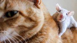 """5 """"đại ca"""" mèo sợ rúm người trước 1 con chuột nhãi"""