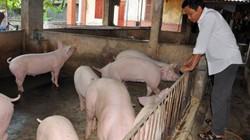 """Giá lợn (heo) hôm nay 6.11: Lợn rừng giảm giá 20.000 đ/kg, các trang trại tiêu thụ lợn """"xuôi"""" hơn"""
