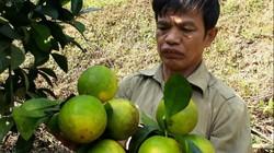 Làm giàu ở nông thôn: Trồng cam trên đất dốc, vất vả nhưng có tiền tỷ