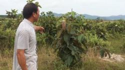 Đắk Lắk: Đất rừng lấn chiếm vẫn được bồi thường