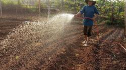 Ủ rơm với phân chuồng - bí quyết người Thái làm cho rau xanh mướt