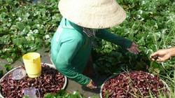Làm giàu ở nông thôn: Trồng ấu 3 cạnh, dân Tân Hạnh có tiền đều tay