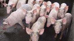 Giá lợn (heo) hôm nay: Nhiều hộ nuôi nhỏ lẻ tiếp tục treo chuồng, tổng đàn lợn giảm gần 2 triệu con