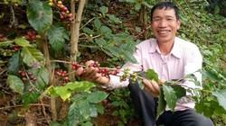 Giá cà phê tươi 7.800 đ/kg, lão nông người Thái lãi ròng trăm triệu