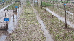 Đà Nẵng: Nông dân trồng rau sạch trắng tay sau bão số 12