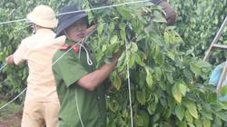 Gia Lai: Bộ đội, công an giúp dân dựng lại những vườn tiêu bị đổ